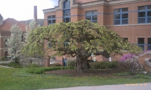 Camperdown Elm May 2011